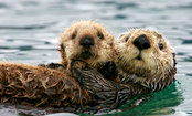 5 Facts You Didn't Know About Sea Otters