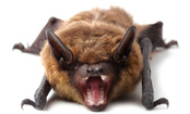 Bat Quiz: How Well Do You Know These Fascinating Creatures?