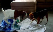 Beagle & Baby Goat Play in the Living Room (Video)