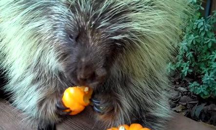 Porcupine Gobbles Up Halloween Pumpkin (Video)