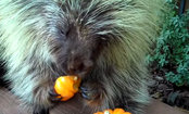 Porcupine Gobbles Up Halloween Pumpkin (Video)