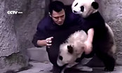 Pandas Want Cuddles, Not Medicine. This Keeper is Defenseless (Video)