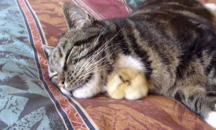 Chick Sleeps Peacefully Under Napping Cat's Chin (Video)
