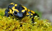 Hundreds of Salamanders Gather on Homeowner's Doorstep