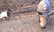 Orphaned Baby Rhino & Goat Make an Adorable Pair (Video)