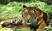 Don't Think Tigers Are Pets? Support Legal Action Protecting Them