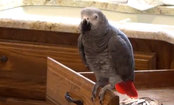 Parrot Thinks He's Matthew McConaughey (Video)