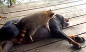 Raccoon & Dog Play Together (Video)