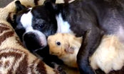 Boston Terrier Snuggles With Guinea Pig (Video)