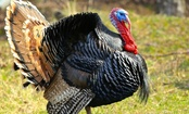 Why & How to Adopt a Turkey for Thanksgiving