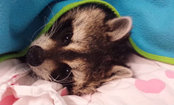 Raccoon Hates Cold Weather, Refuses to Leave His Blanket (Video)