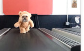 Remember Munchkin the Teddy Bear? She Loves to Exercise (Video)