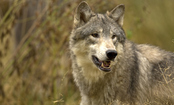 Don't Let Alaskan Wolves Lose Their Home in the Tongass Forest