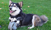 Dog Gets 3-D Printed Legs And Runs For First Time in Life