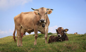 Researchers Figure Out How Cows Communicate