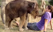 Baby Elephant Searches for Girl's Nose (Video)