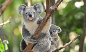 Care2 Member Hopes to Save Koala Bears From Chlamydia