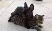 French Bulldog Puppy 'Attacks' Gary the Cat (Video)