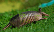 Rollie the Armadillo Loves His Toy (Video)
