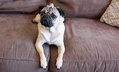 Doug the Pug Delivers Amazing Notes of Kindness (Video)