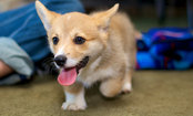 11-Week-Old Corgi Puppy Thinks Spoon is Pure Evil (Video)