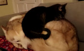 Cat Gets Comfortable on Unsuspecting Husky (Video)