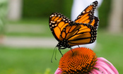 Hold Monsanto Responsible for Killing Monarch Butterflies