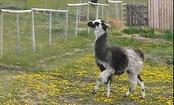 Daily Cute: Llama Demonstrates 'Sproinging'