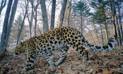 Great News: Amur Leopard Population Doubles