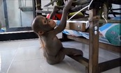 Daily Cute: Budi Update! Baby Orangutan Learns to Climb