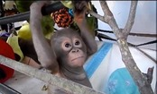 Daily Cute: Baby Budi Climbing on Enrichment Playground