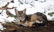 New Documentary Exposes USDA's Secret War on Animals