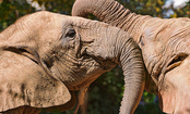 'Dumbo' Should Tell the Truth – Elephants Need to Be Free