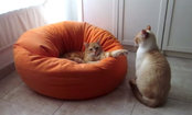 Daily Cute: Suspenseful Cat Fight Over the Pouf