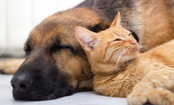 10 Most Cat-Friendly Dog Breeds