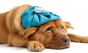 Dog Flu Outbreak in American Midwest: What Dog Owners Should Know