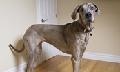 Everyday Issues For People With Giant Breeds