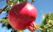 The Amazing Health Benefits of the Pomegranate