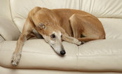 Daily Cute: Greyhound Drags His Bed to Last Sunny Spot in the House