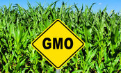 New Study Gives Genetically-Modified Crops a Failing Grade