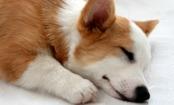Daily Cute: Corgi Falls Asleep in Hilarious Position