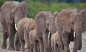 Illicit Ivory Trade Threatens African Elephants