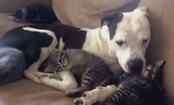 Rescued 3-Legged Pit Bull Helps Abandoned Kittens Get Adopted