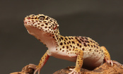 8-Question Quiz to Test Your Gecko Smarts