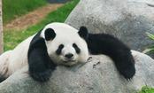 Should We Let Pandas Go Extinct? (video)