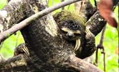 Pygmy Sloths in the Caribbean (video)