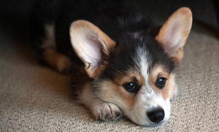 Daily Cute: Corgi Puppy Faces the Stairs