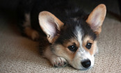 Daily Cute: Corgi Puppy Faces the Stairs