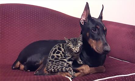 Daily Cute: Doberman and Bengal Cat Cuddle