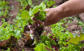10 Veggies You Can Plant Now and Harvest Before Winter